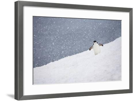 Portrait of a Chinstrap Penguin, Pygoscelis Antarctica, in a Snow Shower-Ira Meyer-Framed Art Print