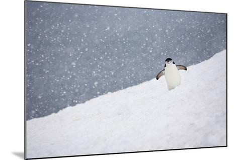 Portrait of a Chinstrap Penguin, Pygoscelis Antarctica, in a Snow Shower-Ira Meyer-Mounted Photographic Print
