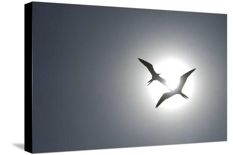 Magnificent Frigatebirds in Flight over Isla Iguana-Michael Melford-Stretched Canvas Print