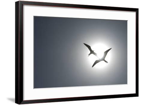 Magnificent Frigatebirds in Flight over Isla Iguana-Michael Melford-Framed Art Print