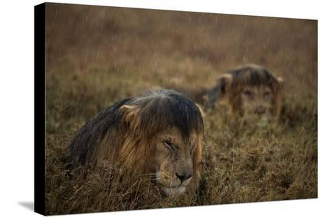 Adult Male Lions Lie Side by Side During an Afternoon Rain Shower in Serengeti National Park-Michael Nichols-Stretched Canvas Print