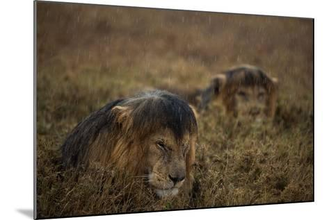 Adult Male Lions Lie Side by Side During an Afternoon Rain Shower in Serengeti National Park-Michael Nichols-Mounted Photographic Print