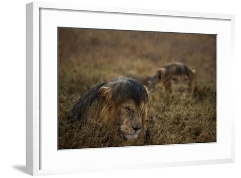 Adult Male Lions Lie Side by Side During an Afternoon Rain Shower in Serengeti National Park-Michael Nichols-Framed Art Print