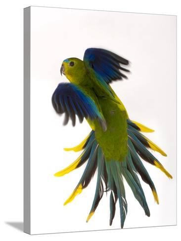 A Critically Endangered Orange-Bellied Parrot, One of the Rarest Birds in the World-Joel Sartore-Stretched Canvas Print