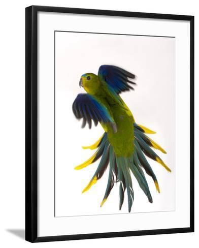 A Critically Endangered Orange-Bellied Parrot, One of the Rarest Birds in the World-Joel Sartore-Framed Art Print