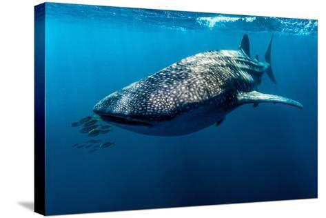 Yellowtail Fusilier Swim in Front of a Filter Feeding Whale Shark-Jason Edwards-Stretched Canvas Print