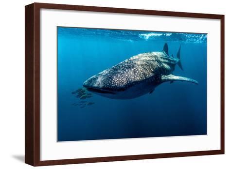 Yellowtail Fusilier Swim in Front of a Filter Feeding Whale Shark-Jason Edwards-Framed Art Print