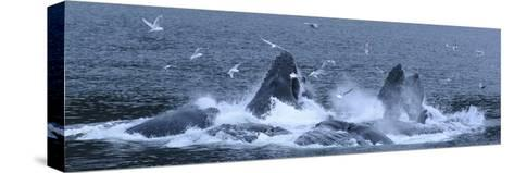 Birds Clusters over a Pod of Humpback Whales Bubble Net Feeding in the Inside Passage-Michael Melford-Stretched Canvas Print
