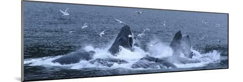 Birds Clusters over a Pod of Humpback Whales Bubble Net Feeding in the Inside Passage-Michael Melford-Mounted Photographic Print