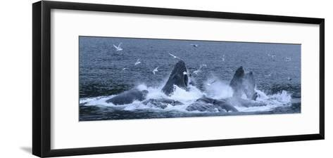 Birds Clusters over a Pod of Humpback Whales Bubble Net Feeding in the Inside Passage-Michael Melford-Framed Art Print