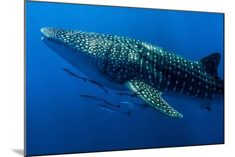 A Shoal of Live Sharksuckers and Remora Swim Alongside a Whale Shark-Jason Edwards-Mounted Photographic Print