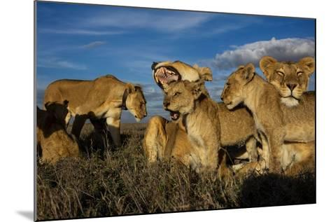 Older Cubs are Raised Together as a Creche, or Nursery Group-Michael Nichols-Mounted Photographic Print