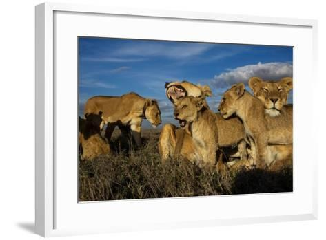 Older Cubs are Raised Together as a Creche, or Nursery Group-Michael Nichols-Framed Art Print