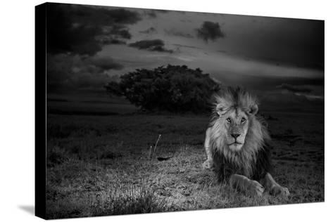 A Dark-Maned Male Lion known as C-Boy-Michael Nichols-Stretched Canvas Print