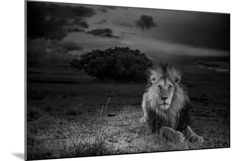 A Dark-Maned Male Lion known as C-Boy-Michael Nichols-Mounted Photographic Print