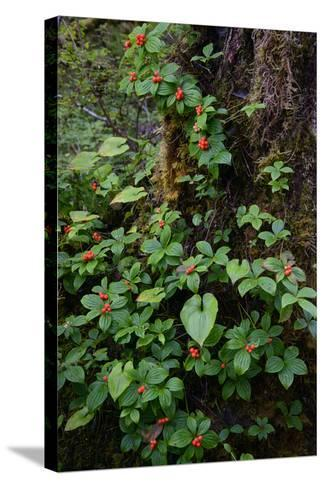 Bunchberries in the Rain Forest Near Petersburg-Michael Melford-Stretched Canvas Print