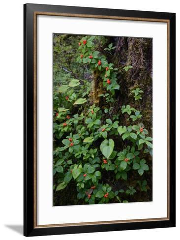Bunchberries in the Rain Forest Near Petersburg-Michael Melford-Framed Art Print