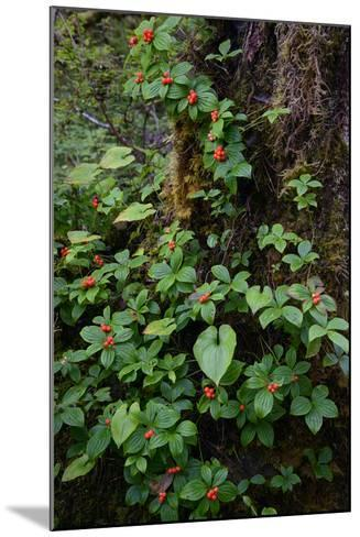 Bunchberries in the Rain Forest Near Petersburg-Michael Melford-Mounted Photographic Print