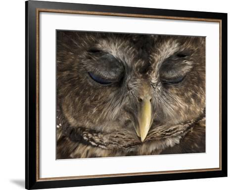 A Rare Northern Spotted Owl, Strix Occidentalis Caurina-Joel Sartore-Framed Art Print