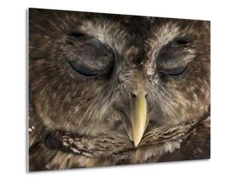 A Rare Northern Spotted Owl, Strix Occidentalis Caurina-Joel Sartore-Metal Print
