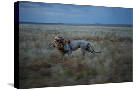 An Adult Male Lion, Hildur, Frequently Makes a Long Run to Visit the Simba East Pride-Michael Nichols-Stretched Canvas Print