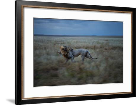 An Adult Male Lion, Hildur, Frequently Makes a Long Run to Visit the Simba East Pride-Michael Nichols-Framed Art Print