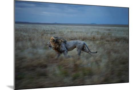 An Adult Male Lion, Hildur, Frequently Makes a Long Run to Visit the Simba East Pride-Michael Nichols-Mounted Photographic Print
