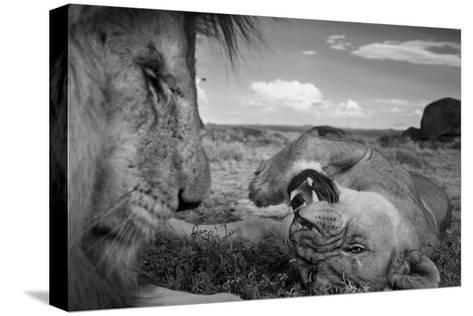 An adult male lion, C-Boy, and a Vumbi female relax between matings.-Michael Nichols-Stretched Canvas Print