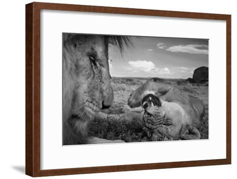 An adult male lion, C-Boy, and a Vumbi female relax between matings.-Michael Nichols-Framed Art Print