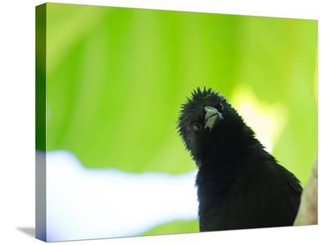 A Crow Stares at the Camera with Great Curiosity-Alex Saberi-Stretched Canvas Print