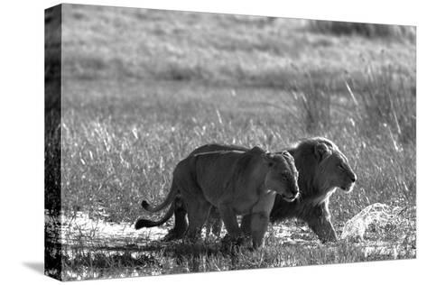 A Lion and Lioness, Panthera Leo, Walking Side by Side Through Flooded Grasses-Beverly Joubert-Stretched Canvas Print
