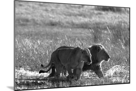 A Lion and Lioness, Panthera Leo, Walking Side by Side Through Flooded Grasses-Beverly Joubert-Mounted Photographic Print