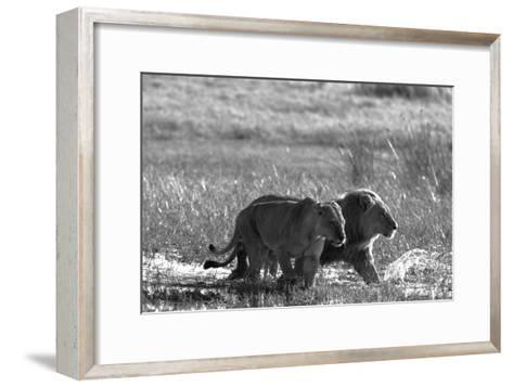 A Lion and Lioness, Panthera Leo, Walking Side by Side Through Flooded Grasses-Beverly Joubert-Framed Art Print