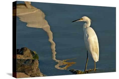 Portrait of a Snowy Egret, Egretta Thula and a Reflection in Water-Medford Taylor-Stretched Canvas Print