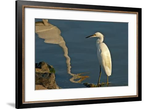Portrait of a Snowy Egret, Egretta Thula and a Reflection in Water-Medford Taylor-Framed Art Print
