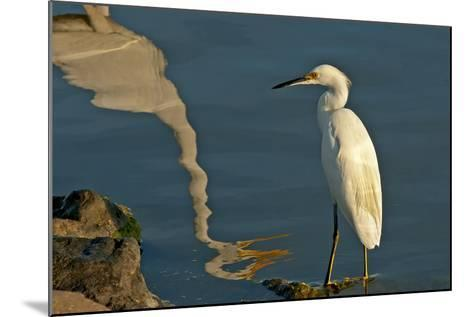 Portrait of a Snowy Egret, Egretta Thula and a Reflection in Water-Medford Taylor-Mounted Photographic Print
