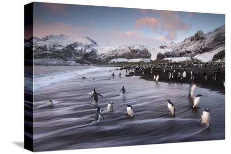 King Penguins Along the Shore at Gold Harbour on South Georgia Island-Michael Melford-Stretched Canvas Print