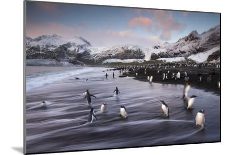 King Penguins Along the Shore at Gold Harbour on South Georgia Island-Michael Melford-Mounted Photographic Print