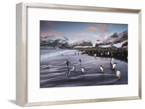 King Penguins Along the Shore at Gold Harbour on South Georgia Island-Michael Melford-Framed Art Print
