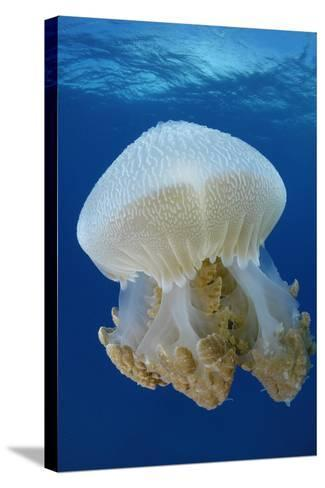 Portrait of a Thysanostoma Thysamura Jellyfish-Jeff Wildermuth-Stretched Canvas Print