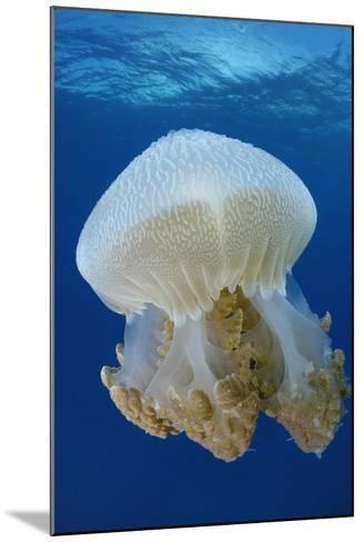 Portrait of a Thysanostoma Thysamura Jellyfish-Jeff Wildermuth-Mounted Photographic Print