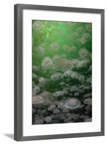 A Swarm of Moon Jellyfish, Aurelia Aurita-Jeff Wildermuth-Framed Art Print
