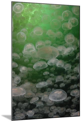 A Swarm of Moon Jellyfish, Aurelia Aurita-Jeff Wildermuth-Mounted Photographic Print