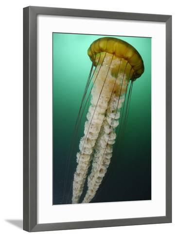 Portrait of a Sea Nettle Jellyfish, Chrysaora Species-Jeff Wildermuth-Framed Art Print