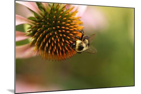 A Bee on a Coneflower-Vickie Lewis-Mounted Photographic Print