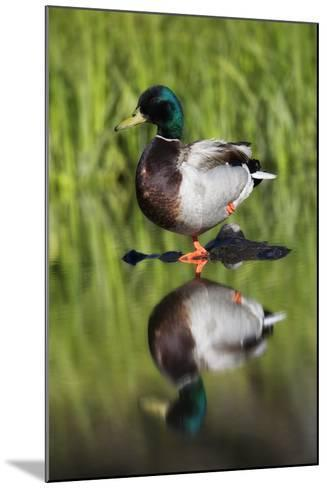 A Male Mallard Duck, Anas Platyrhynchos, Standing on One Leg, on a Rock in the Water-Robbie George-Mounted Photographic Print