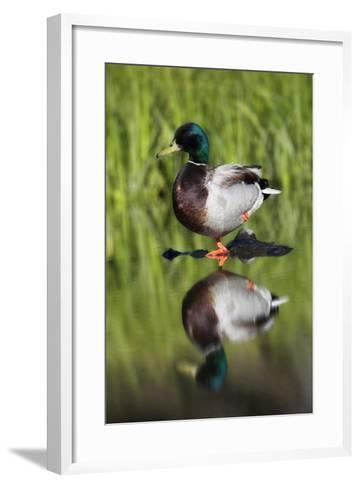 A Male Mallard Duck, Anas Platyrhynchos, Standing on One Leg, on a Rock in the Water-Robbie George-Framed Art Print
