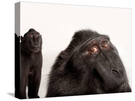 Critically Endangered Celebes Crested Macaques, Macaca Nigra, at the Henry Doorly Zoo-Joel Sartore-Stretched Canvas Print