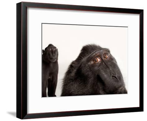Critically Endangered Celebes Crested Macaques, Macaca Nigra, at the Henry Doorly Zoo-Joel Sartore-Framed Art Print