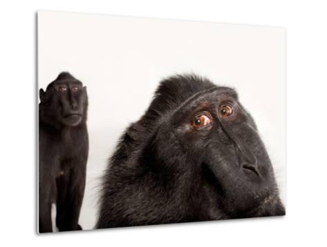 Critically Endangered Celebes Crested Macaques, Macaca Nigra, at the Henry Doorly Zoo-Joel Sartore-Metal Print